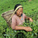 Népalaise récoltant le thé à Ilam